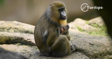 IVY, una bebé mandril se une a la familia de Disney's Animal Kingdom